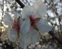 Fiore di Mandorlo   - Agrigento (1341 clic)