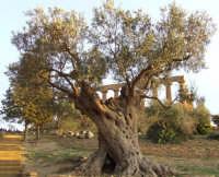 Ulivo secolare e tempio di giunone   - Agrigento (2234 clic)