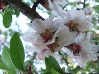 Mandorlo in fiore nella Valle dei Templi   - Agrigento (3569 clic)
