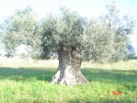 Ulivo   - Menfi (1763 clic)