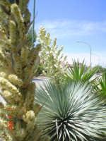 ArtLab Villa Costa Yucca Rostrata in fiore   - Menfi (2491 clic)