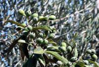 Un frutto tipico della nostra Sicilia.  - Ispica (3636 clic)