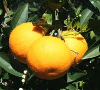 Un frutto tipico della nostra Sicilia.  - Ispica (2882 clic)