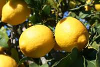 Un frutto tipico della nostra Sicilia.  - Ispica (2658 clic)