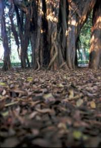 Ficus secolare PALERMO Domenico Veneziano