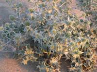 Vegetazione sulla spiaggia di Cornino  - Cornino (2400 clic)
