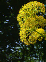 La ferula (a ferra). Nonostante sia una pianta comunissima, l'amante della natura gode della sua improvvisa ed estesa fioritura primaverile che inonda il paesaggio del giallo brillante dei suoi fiori.  - Fondachelli fantina (3614 clic)