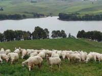 Pecore al pascolo, nella panoramica un particolare della diga delia  - Castelvetrano (11745 clic)