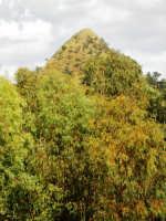 Piante di eucaliptus con sfondo il Monte Formaggio   - Mazzarino (3009 clic)