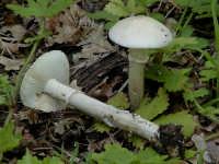 Amanita eliae  - Nebrodi (3181 clic)