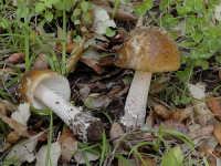 Amanita ceciliae  - Nebrodi (4982 clic)
