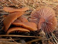 Laccaria affinis  - Nebrodi (2457 clic)
