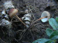 Crinipellis scabella  - Nebrodi (2308 clic)