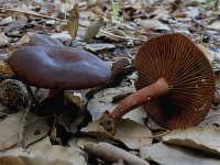 Lactarius subumbonatus  - Nebrodi (2544 clic)