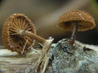 Erycium erynaceum  - Nebrodi (2149 clic)