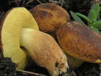 Leccinum corsicum 2  - Nebrodi (6712 clic)