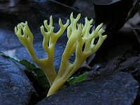 Clavulinopsis corniculata  - Nebrodi (2705 clic)