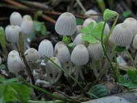 Coprinus disseminatus 1  - Nebrodi (2013 clic)