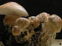 Leucopaxillus macrocephalus  - Nebrodi (2914 clic)