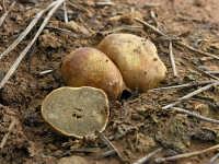 Rhyzopogon vulgaris  - Nebrodi (2445 clic)