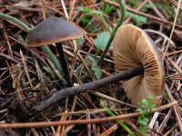 Macrocystidia cucumis  - Nebrodi (2077 clic)