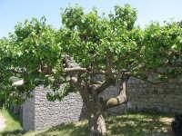 Gelso centenario davanto alla tenuta del Principe di Baucina  - Isnello (2290 clic)