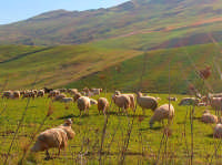 pecore al pascolo nelle campagne di Corleone  - Corleone (6086 clic)