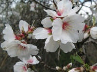 Mandorli in fiore  - Polizzi generosa (1805 clic)