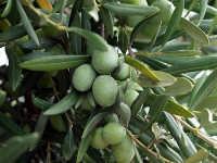 Olive giganti...  - Mozia (3390 clic)