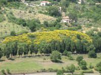 Cipressi e ginestre, sulla via per Isnello  - Castelbuono (5417 clic)