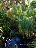 Papiro, nell'oasi WWF di Fiumefreddo di Sicilia (2109 clic)