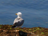 Gabbiano Gabbiano, tipico uccello delle coste Siciliane che si nutre di piccoli pesci che cattura a pelo d'acqua tuffandosi.   - Sferracavallo (3501 clic)