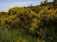 Gineste dell'Etna Ginestra, pianta tipica dell'Etna, Profumatissima in fioritura  - Linguaglossa (2255 clic)