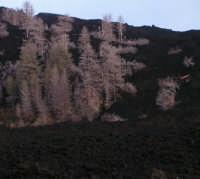 Etna, Cimitero dei Pini, accerchiati dalla lava del 2002.  - Linguaglossa (3322 clic)