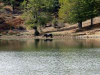 Lago Maulazzo Fauna e Flora. Lago Maulazzo Fauna e Flora.   - Nebrodi (10297 clic)