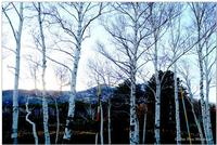 Betulle dell'Etna (956 clic)