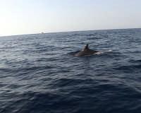 Navigando verso l?isolotto dopo poche miglia non è raro incontrare diversi delfini    - Lampione (4799 clic)