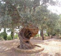 Albero secolare di ulivo, Facolta Beni Culturali  - Agrigento (8148 clic)