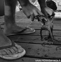 pesca del polpo pesca del polpo a marzamemi  - Marzamemi (896 clic)