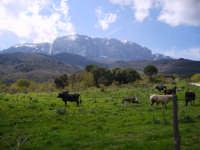 mucche al pascolo  - Godrano (4657 clic)
