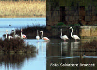 Fenicotteri a Vendicari nel mese di gennaio  - Noto (2124 clic)
