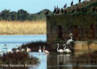 Fenicotteri e cormorani a Vendicari nel mese di gennaio  - Noto (1997 clic)