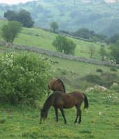 Cavalli presso Ferla  - Ferla (2648 clic)
