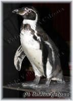 Il meraviglioso e dolcissimo Pinguino..Circo Acquatico a Catania. Ph Valdina Calzona 2008  - Catania (4308 clic)