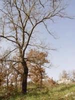 Maginifico albero avvolto dall'inverno PIANA DEGLI ALBANESI GABRIELE MILONE
