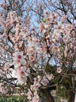 fiori di mandorle  - Bolognetta (3246 clic)
