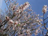 Mandorlo in fiore  - Bolognetta (3255 clic)