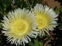 Fiori di piante grasse  - Bolognetta (8919 clic)