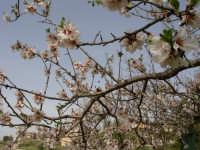 Mandorlo in fiore.  - Bolognetta (3228 clic)