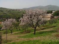 Mandorlo in fiore.  - Bolognetta (4103 clic)